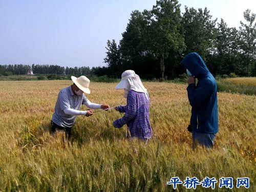 平桥区农业局开展优质专用小麦测产工作